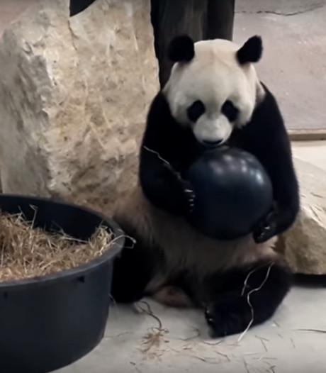 Opsluiten om geld in te zamelen voor kinderbezoek aan panda's Ouwehands