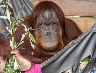 Pairi Daiza krijgt er niet één maar twee kleine orang-oetans bij