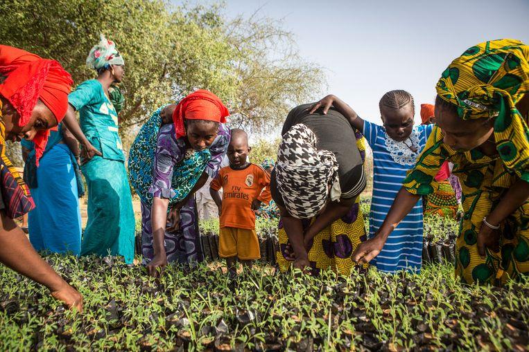 En de vrouwen in Senegal kweken kleine boomjes op om die later te planten. Beeld Hollandse Hoogte / Redux Pictures