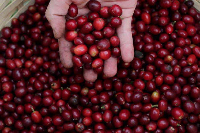 Geoogste koffiebessen op een plantage in Sao Paulo.