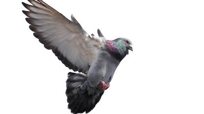 Dierenarts die duivendoping maakte en verkocht al voor vijfde keer veroordeeld