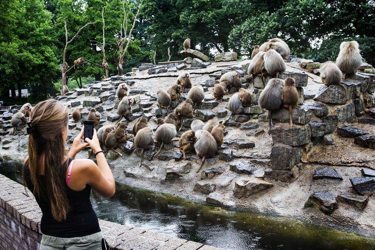 2013-07-31 EMMEN - De mantelbavianen in Dierenpark Emmen zijn nog steeds onrustig. Ze eten niet en zitten stil bij elkaar in een paar kale bomen en op een kleine hoek van hun grote eiland. De verzorgers hebben geen idee wat er aan de hand is. In 1994, 1997 en 2007 was er ook al sprake van een soort massa-apathie onder de bavianen in Dierenpark Emmen. ANP VINCENT JANNINK Beeld ANP