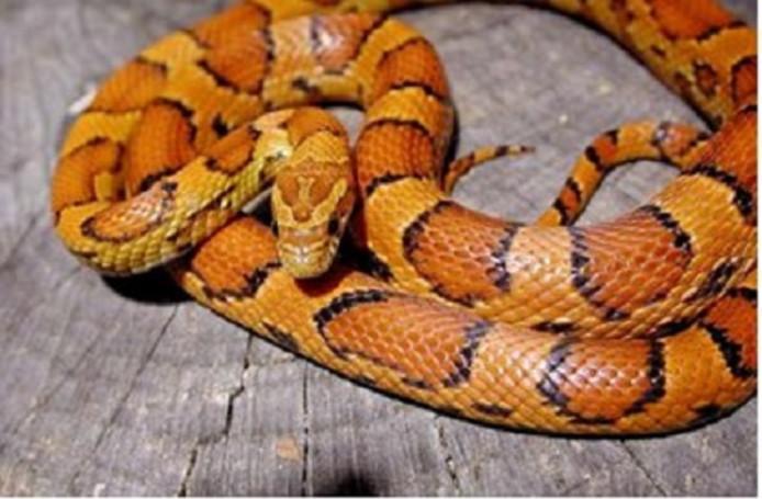 De slang is ongevaarlijk