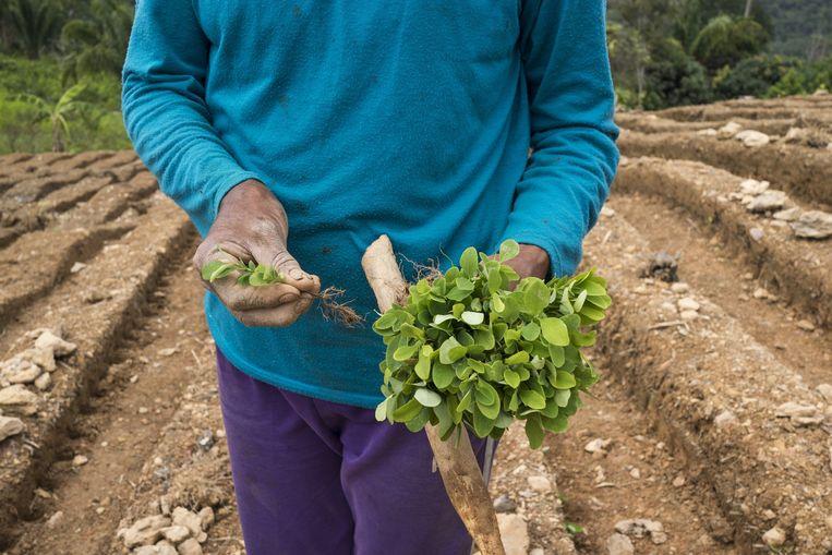 Een cocaboer in Peru met cocabladeren. Beeld Sebastián Liste
