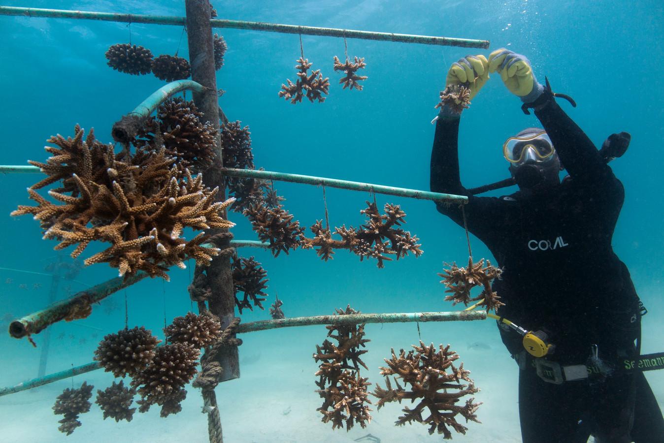 Een Keniaanse vrijwilliger bij een koraalkweek van Reefolution.