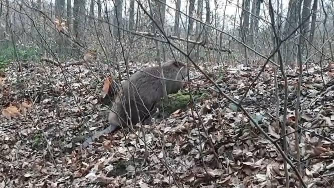 """Voor het eerst in ruim 200 jaar bever gespot in Zoniënwoud: """"Vele toeristen en loslopende honden kunnen probleem vormen"""""""
