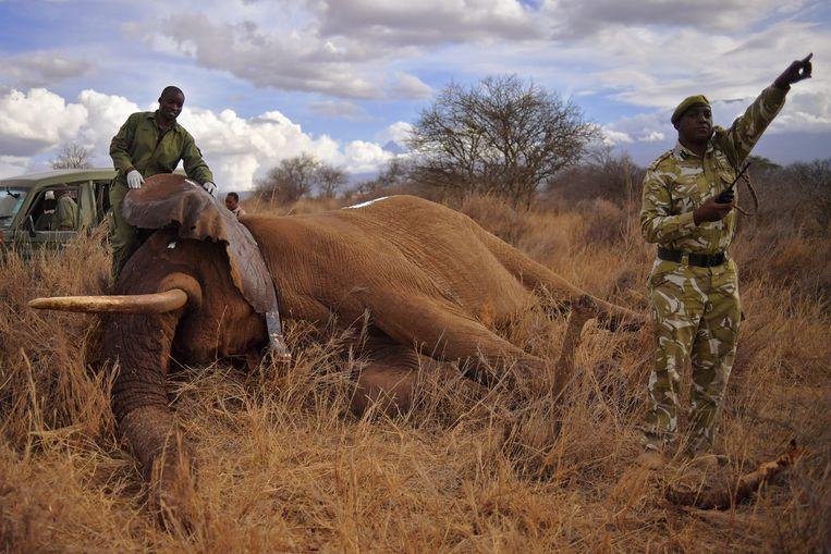 Dierenartsen en rangers bij een verdoofde olifant, nabij Amboseli National Park in Kenia. Beeld AFP