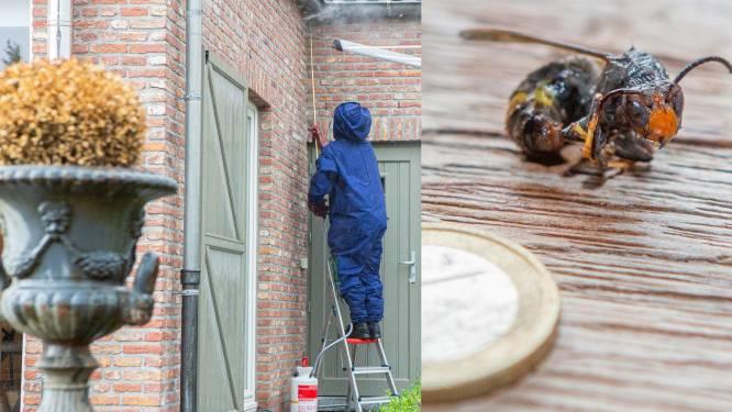 """""""Aziatische hoornaars zijn bijzonder sluw en spuiten gif in de ogen"""": op stap met de speciale eenheden onder de wespenverdelgers"""