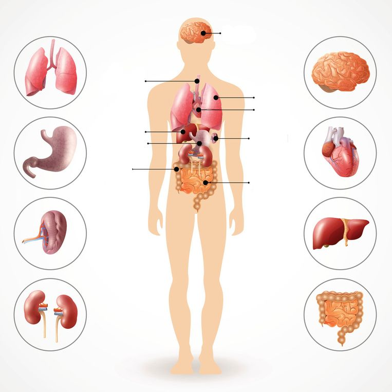 Weet jij welke organen waar zitten? Beeld Getty Images