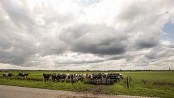 Landbouwer gewond na aanval stier, brandweer drijft uitgebroken koeien terug in weide