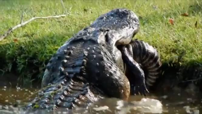 Enorme alligator eet soortgenoot op in achtertuin