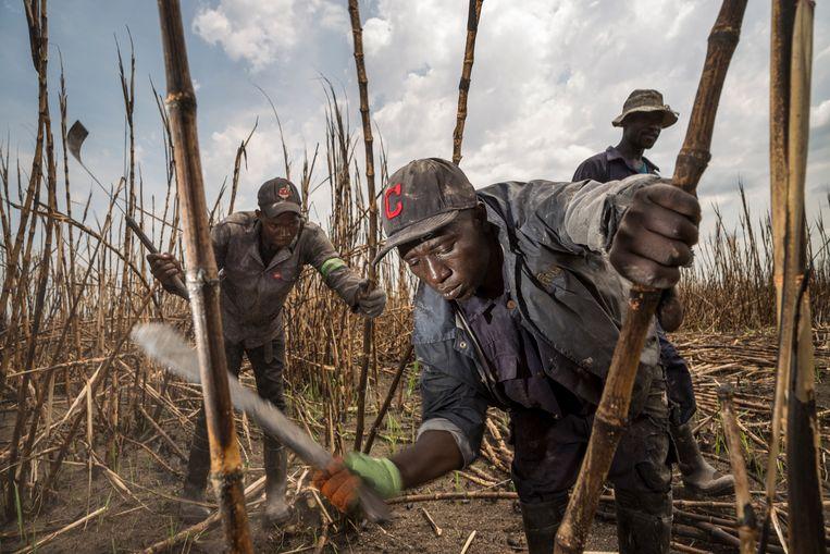 Mannen in dienst van Sunbird Bioenergy kappen suikerriet. Het bedrijf probeert de productie van het gewas weer uit het slop te trekken. Beeld