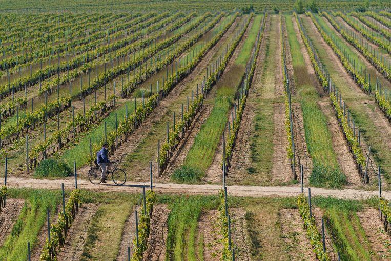 Een wijngaard in het Spaanse Aranda de Duero. Beeld AFP