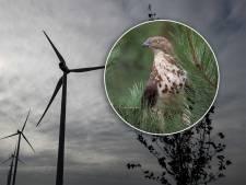 Gaat zeldzame en beschermde roofvogel de windmolens in De Bilt tegenhouden?