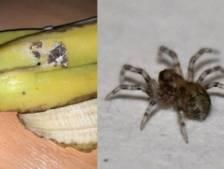 Il découvre des araignées mortelles dans ses bananes