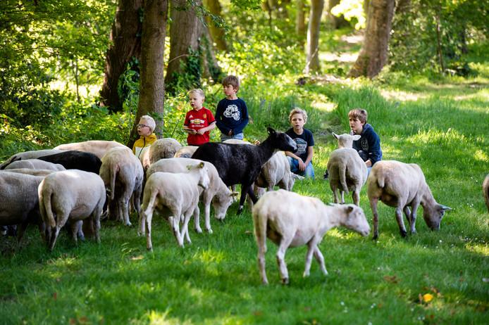 In Eefde is een project van start gegaan om schapen grasvelden te laten begrazen.
