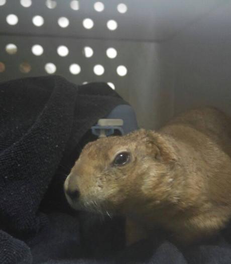 Uit dierentuin ontsnapte prairiehond gevangen door buurtbewoners