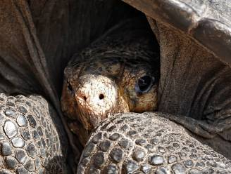 'Uitgestorven' schildpaddensoort weer gespot op Galapagoseilanden