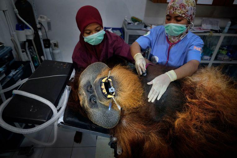 Fahzren krijgt een medische check-up. De 30-jarige orang-oetan belandde in het centrum vanuit een zoo in Maleisië waar hij zijn hele leven had verbleven. Om het enorme beest op de behandeltafel te hijsen, waren vier mensen nodig.  Beeld © Alain Schroeder