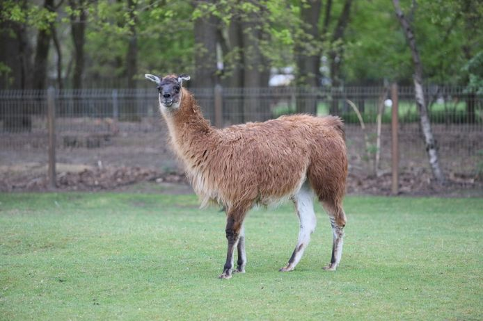 Voor dit lamamannetje in dierenpark De Rippert in Helmond wordt een vrouwtje gezocht.