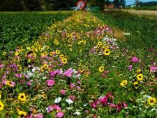 Toekomst van bloeiende akkerranden onzeker: 'Als boeren geen subsidie krijgen, zal de animo afnemen'