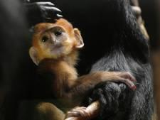 Schattig baby-aapje steelt de show in Diergaarde Blijdorp