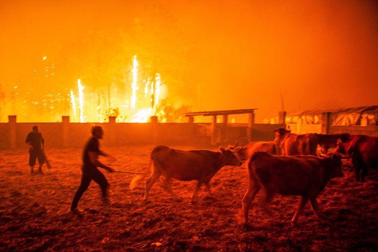 16 oktober 2017: Portugezen proberen het vee in veiligheid te brengen tijdens de grote branden in de bossen van Leiria. R Beeld Ricardo Graca / EPA