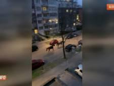Onze arrestations au bois de la Cambre, deux chevaux rentrent seuls jusqu'à leur caserne