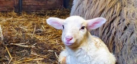 Eerste lammetje geboren bij de kudde in Rheden; 'Misschien via een livestream meekijken'