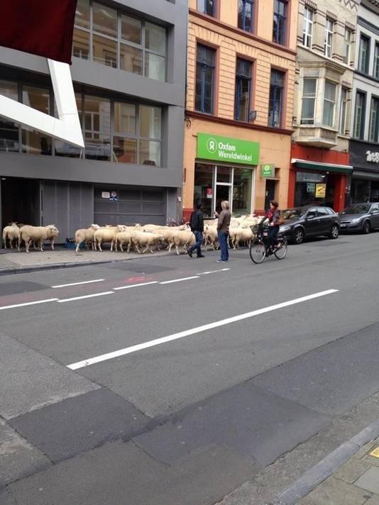 De schapen dartelen rustig door de Lammerstraat.