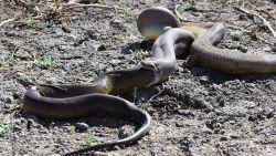 Python verorbert nog grotere python, maar die blijkt nogal zwaar op de maag te liggen