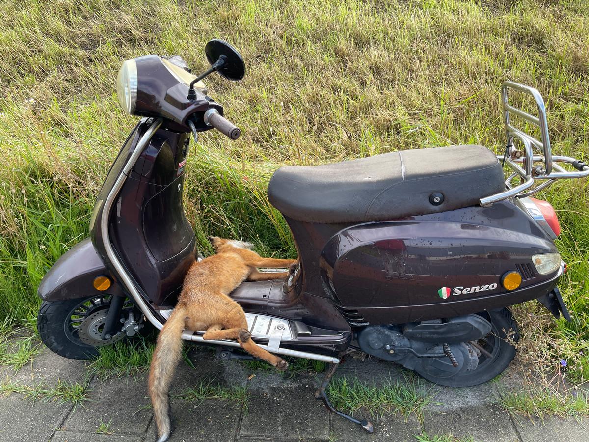 Op de Strandweg in 's-gravenzande is een dode vos op een scooter aangetroffen