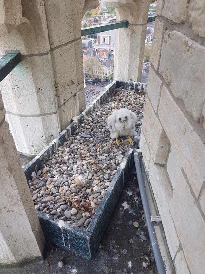Hoog op de toren in Breda zit het slechtvalkkuiken (naast een onbevrucht ei) op zijn nest