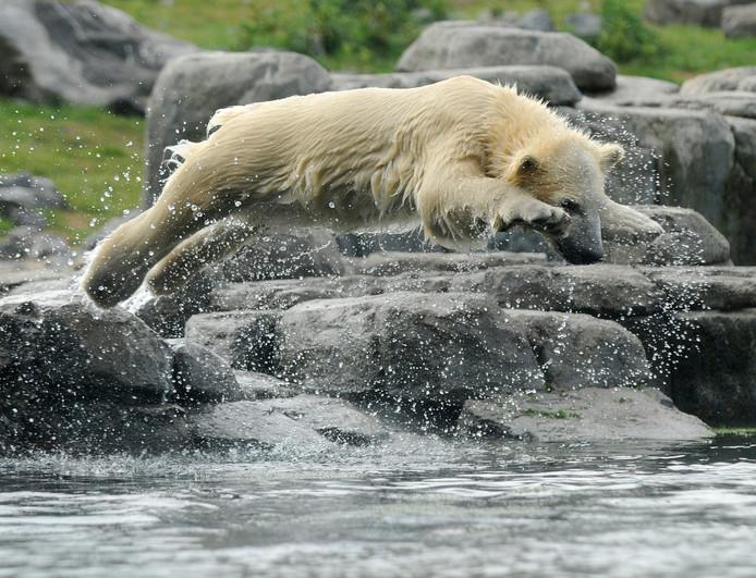 IJsbeer Vicks neemt een frisse duik.