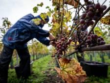 Zuid-Franse sfeer bij oogst op Wijndomein Zurrick in Soerendonk