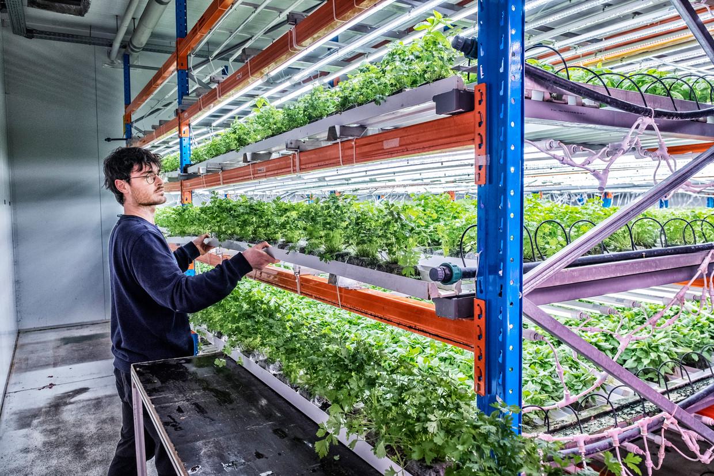 Olivier Paulus van Urban Harvest, een verticale kweektuin in Anderlecht, in de weer met de kruiden die zijn bedrijf teelt. Beeld Tim Dirven