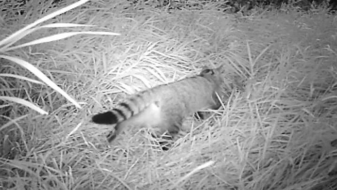 Het dier dat in Bocholt gefilmd werd.