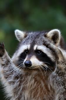 Meer vraagtekens bij jacht op wasbeer in Brabantse politiek