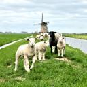 Schapen bij Zwammerdam bij de Oude Rijn.