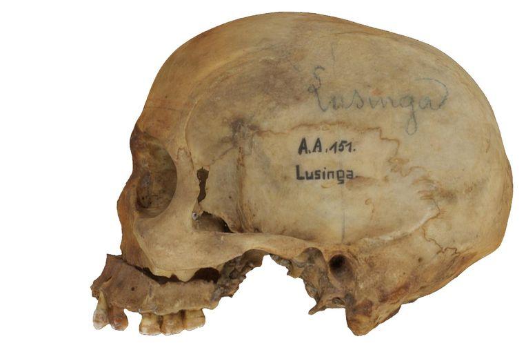 De schedel van de Congolese chef Lusinga, die door de Belgische militair Emile Storms werd onthoofd. Beeld RV