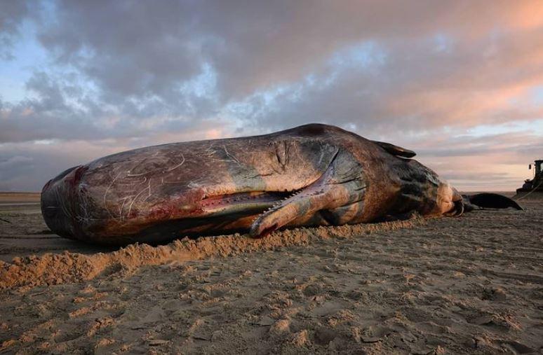 De aangespoelde potvis op het strand van Vlieland.