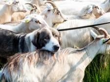 Krachtpatsers inzetten om schapen te beschermen? Veluwse herders hebben hun twijfels