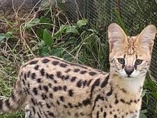 Dierenpark heeft twee 'luipaardkatten' erbij