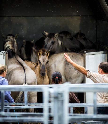 Groeten uit Wit-Rusland: konik-paarden uit de polder aan de slag als 'bosbouwers' in groot natuurgebied