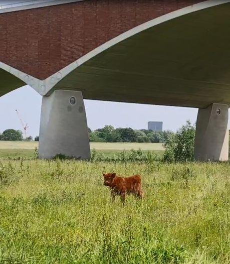 Vrouw wordt op de hoorns genomen bij Spiegelwaal; alle wilde runderen weg van terrein, behalve eenzaam kalfje