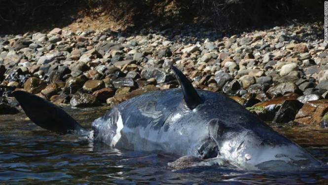 """""""Aangespoelde zwangere walvis had 22 kilogram plastic in maag"""""""