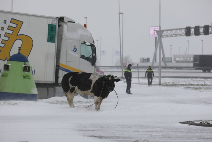 De ontsnapte koe.