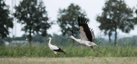 Meer dan honderd ooievaars voelen zich kiplekker in weiland bij Zweekhorst