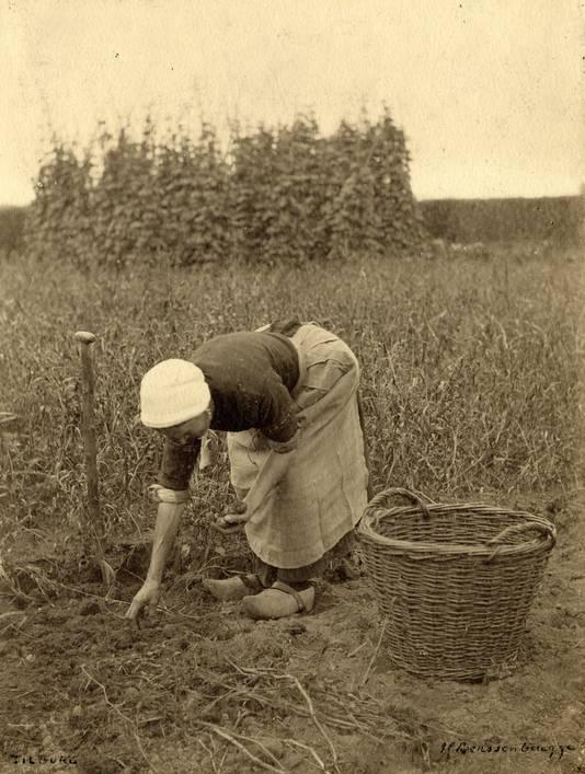 Tilburgse boerin aan het aardappelrooien. Fotograaf Henri Berssenbrugge, ca. 1900. Collectie Regionaal Archief Tilburg.