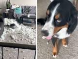 Honden richten ravage aan en kunnen niet wachten om het aan hun baasje te tonen
